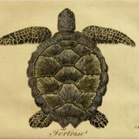 Sea-tortoise