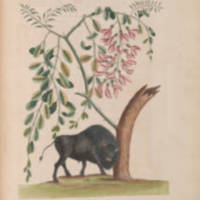 Catesby's Bison.jpg