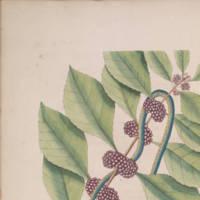 Catesby's Blueish Green Snake.jpg